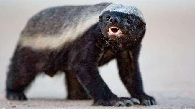 世界上最无所畏惧的动物:蜜罐横扫猛兽毒蛇无数!